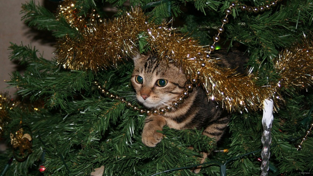 Cat for Christmas